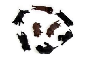 puppies-black-brown-labrador-160829