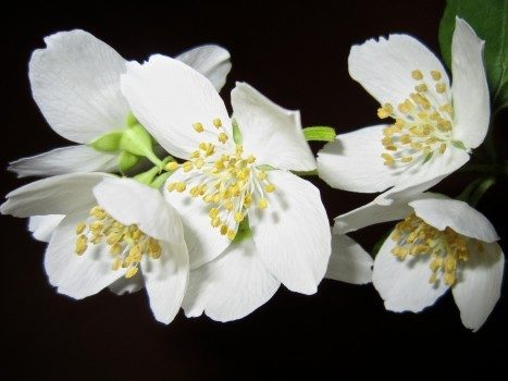 flower-jasmine-bush-white-aroma-tender-beautiful
