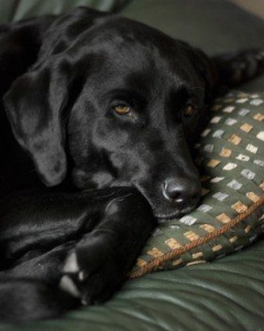 dog-labrador-retriever-black-lab-labrador-retriever-1
