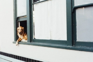 portrait-of-dog-looking-out-of-window